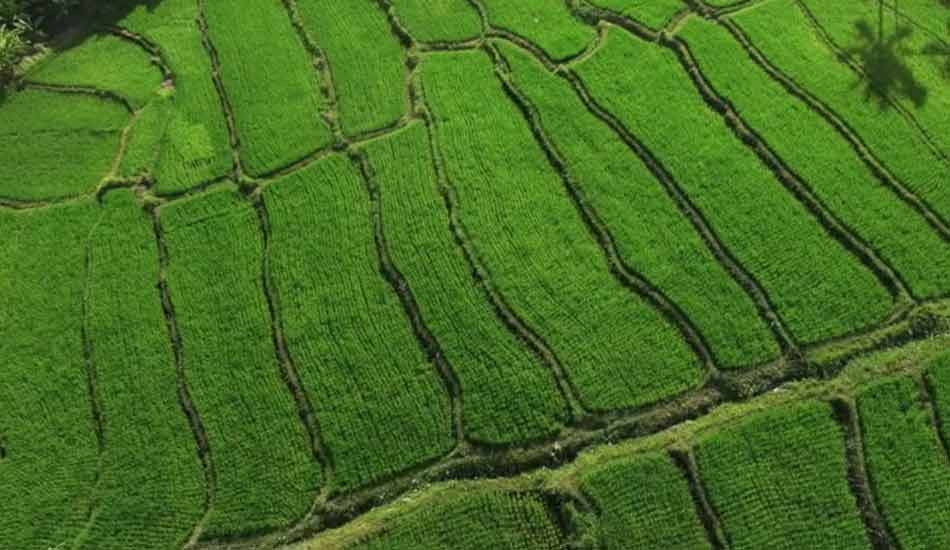 17 Rice field opti